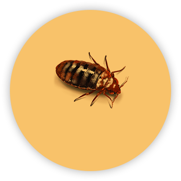Bed Bug on circular yellow background